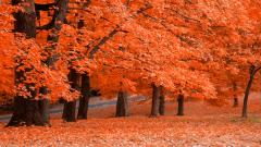 Maple Trees 30981