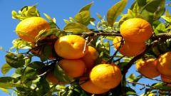 Orange Tree Wallpaper 42111