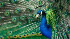 Peacock 27299