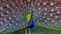 Peacock 27305