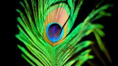 Peacock Wallpaper 27298