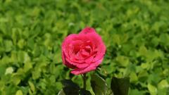 Pink Rose 23384