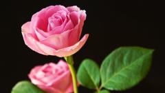 Pink Rose 23390