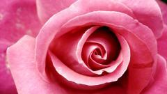 Pink Rose 23397