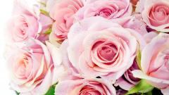 Pink Roses 23377