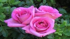 Pink Roses 23381