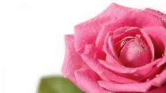Pink Roses Wallpaper 23378