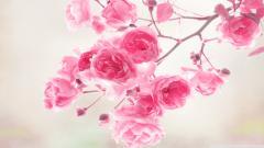 Pink Roses Wallpaper 23395