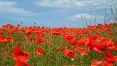 Poppy Flowers 14009