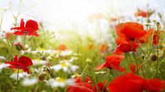 Poppy Flowers 14010