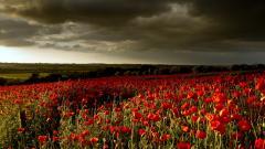 Poppy Flowers 14013
