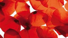 Poppy Flowers 14014