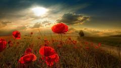 Poppy Flowers 14022