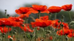 Poppy Flowers 14023