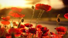 Poppy Flowers 14024