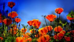 Poppy Flowers 14025