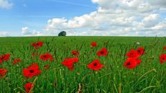 Poppy Flowers 14026