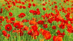 Poppy Flowers 14027