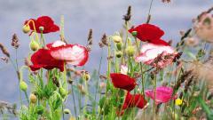 Poppy Flowers 14028