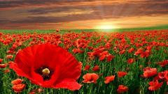 Poppy Flowers 14030