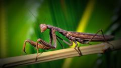 Praying Mantis Background 37739