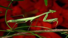 Praying Mantis Pictures 37742