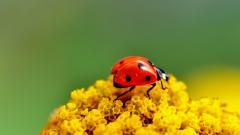 Pretty Ladybug Wallpaper 43697