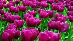 Purple Tulips 12712