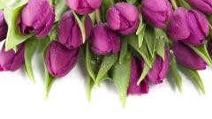 Purple Tulips 12713