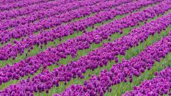 Purple Tulips 12716