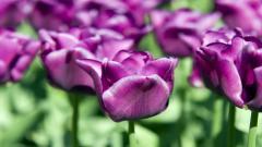Purple Tulips 12719