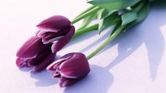 Purple Tulips 12724
