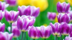 Purple Tulips 12725