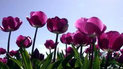 Purple Tulips 12727