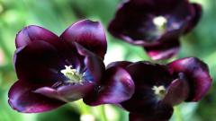 Purple Tulips 12728