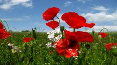 Red Poppy Flowers 14016