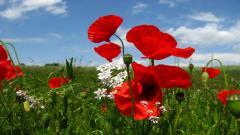 Red Poppy Flowers 14016