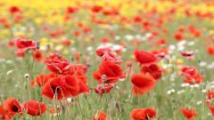Red Poppy Flowers 14017