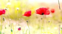 Red Poppy Flowers 14018