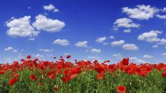 Red Poppy Flowers 14021
