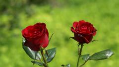 Roses 31695