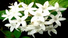 White Flowers 7710