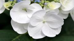 White Flowers 7715