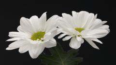 White Flowers 7720