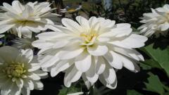 White Flowers 7725