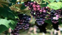 Wonderful Grapes Tree Wallpaper 42117