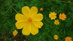 Yellow Cosmos Flowers 29238