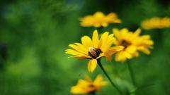 Yellow Summer Flowers 29996