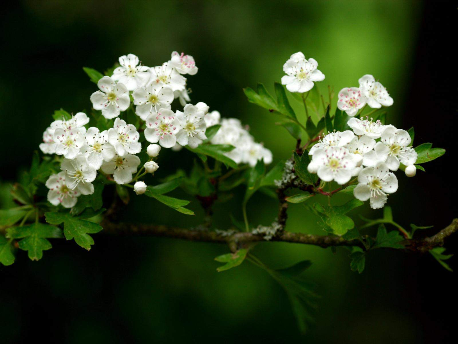 white flowers 7706