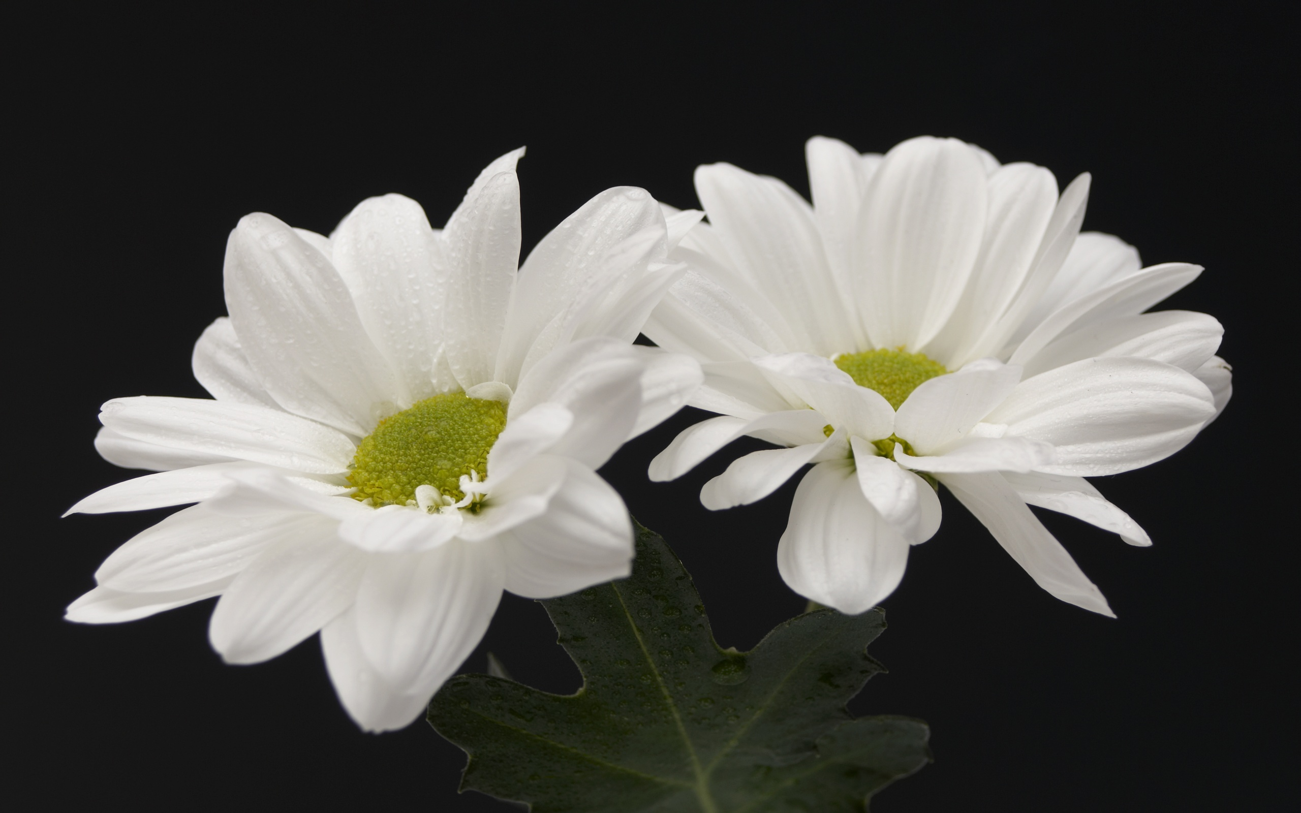 Download white flowers 7720 2560x1600 px high resolution wallpaper white flowers 7720 mightylinksfo